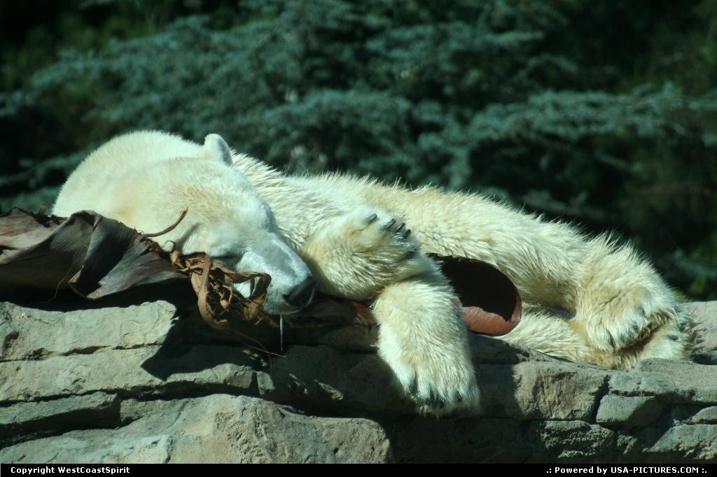 Picture by WestCoastSpirit:San DiegoCaliforniabear, polar, zoo