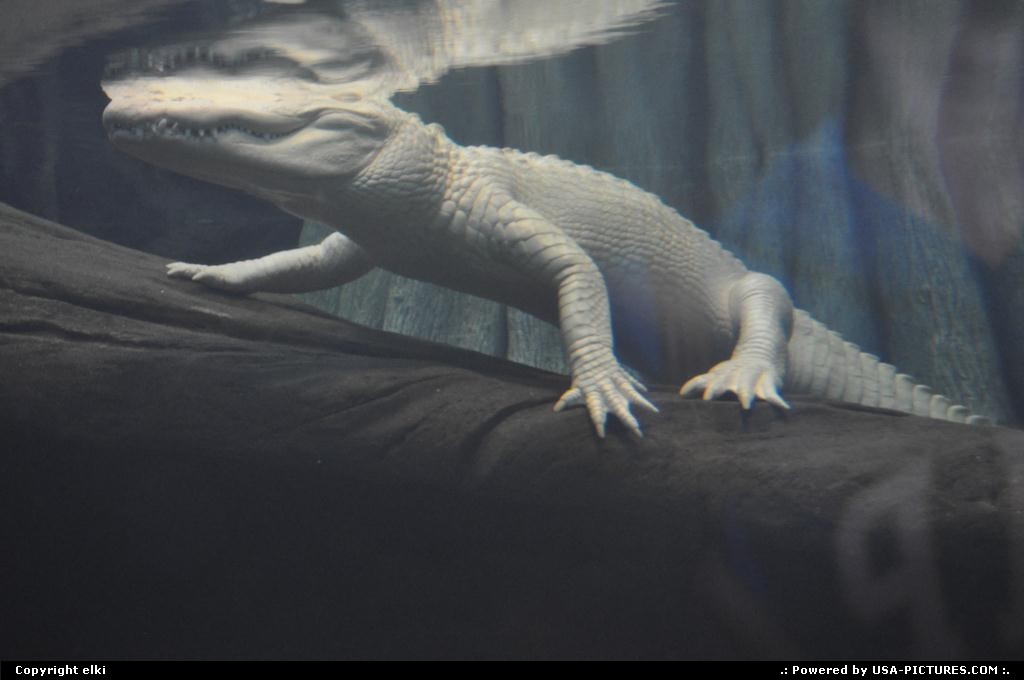 Picture by elki: San Francisco California   aligator albino san francisco