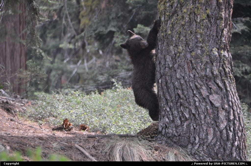 Picture by elki:  California Sequoia  bear cub sequoia national park