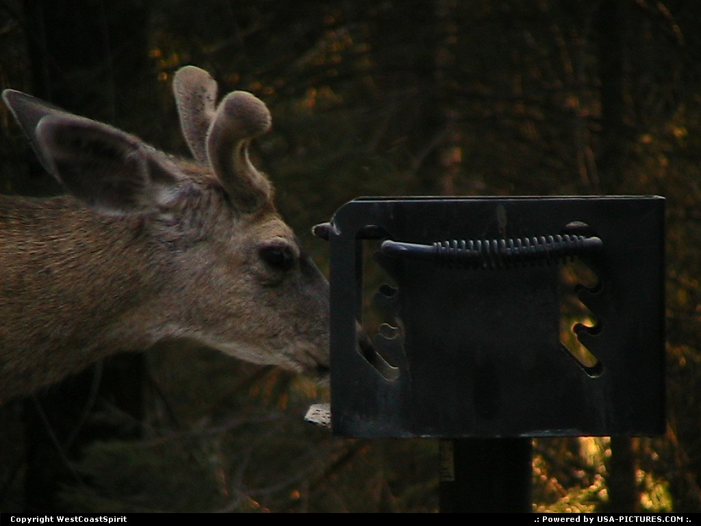Picture by WestCoastSpirit:  California Sequoia  deer, bbq
