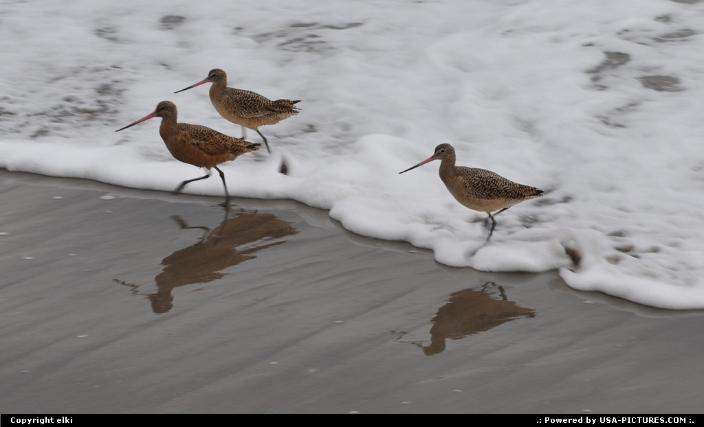Picture by elki: Stinson Beach California   stinson beach, bar-tailed godwit