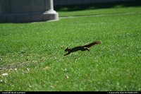 Colorado, An athletic squirrel performing here in downtown Denver, at the mall between City Hall and State Capitol