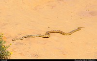 Photo by elki |  Mesa Verde bullsnake, mesa verde national park