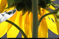 Photo by jessie824 | Washington  flower, sunflower, nature, yellow, petals