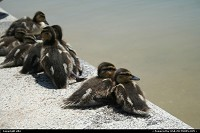 Photo by elki | Washington  washington ducks