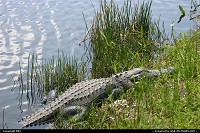 Everglades national park: Gator at Everglades