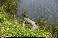 Photo by elki |  Everglades gator