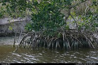 Everglades : Mangrove tree