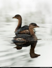 Clewiston : Two shy pied-billed grebes