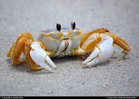 Crab at Fernandina Beach