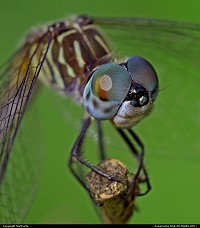 A Blue Dasher dragonfly. Native to Florida.(that's what the internet said)