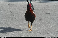 Key West : Rooster, chicken, a part of the city