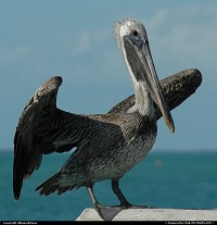 Not in a City : Pelican-watching in the Florida Keys. For webgallery: www.caribbean-editions.nl