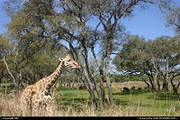 Photo by elki | Orlando  girafe, disney