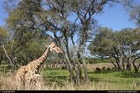 Photo by elki | Orlando  girafe, disney