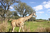 A girafe, Animal Kingdom (Disney)