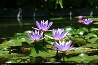 Photo by elki | Orlando  water lily