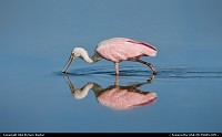 Photo by USA Picture Visitor | Sarasota  roseate, spoonbill