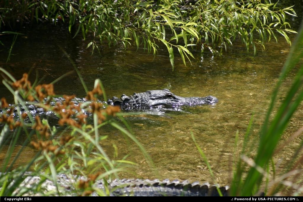 Picture by elki:  Florida Everglades  gator