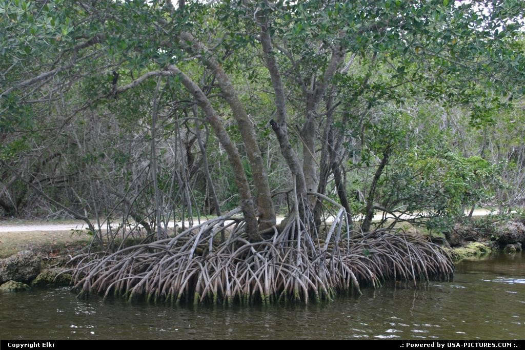 Picture by elki:  Florida Everglades  mangrove