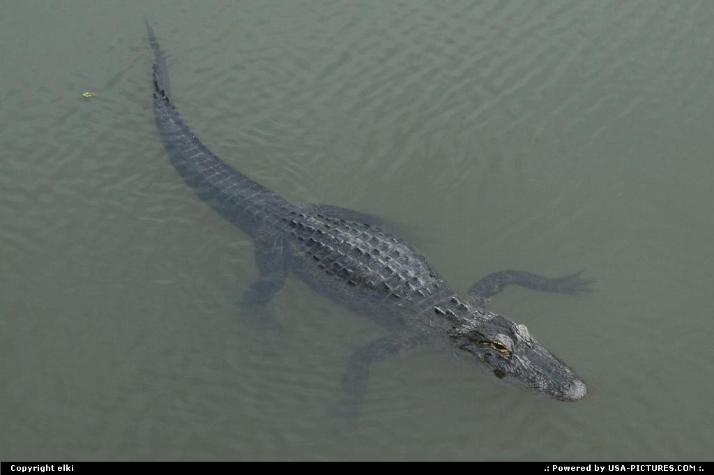 Picture by elki: Cape Canaveral Florida   alligator cap canaveral