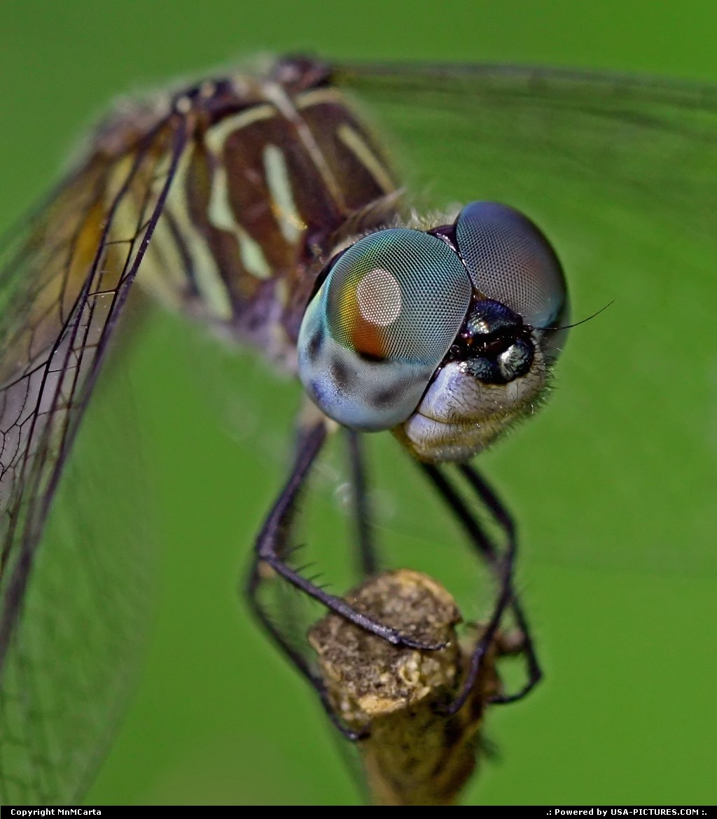 Picture by MnMCarta: Jacksonville Florida   dragonfly,blue dasher,bug,macro,native,wings,eyes,color,nature,stem,jacksonville, florida