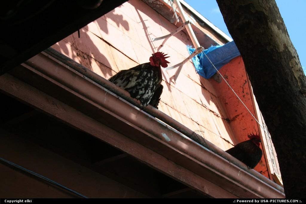 Picture by elki:Key WestFloridakey west rooster hens