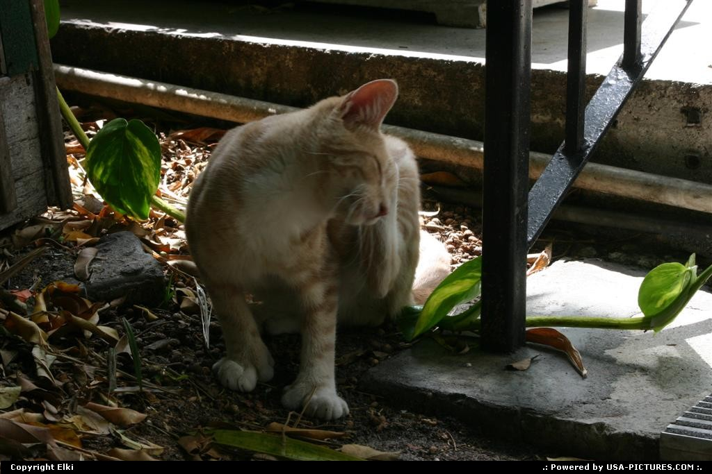 Picture by elki: Key West Florida   cat, hemingway