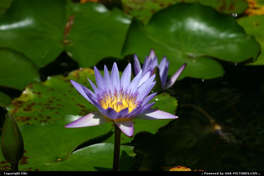 Picture by elki: Orlando Florida   water lily, universal