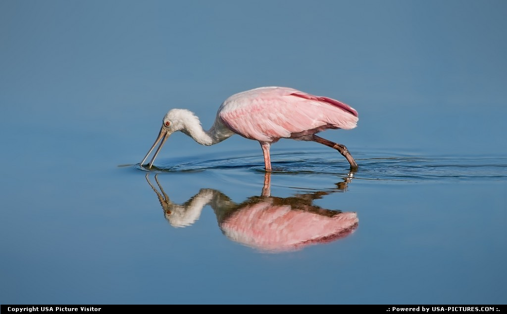 Picture by USA Picture Visitor:SarasotaFloridaroseate, spoonbill