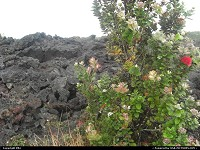 Hawaii Volcanoes national park: Lava and flowers