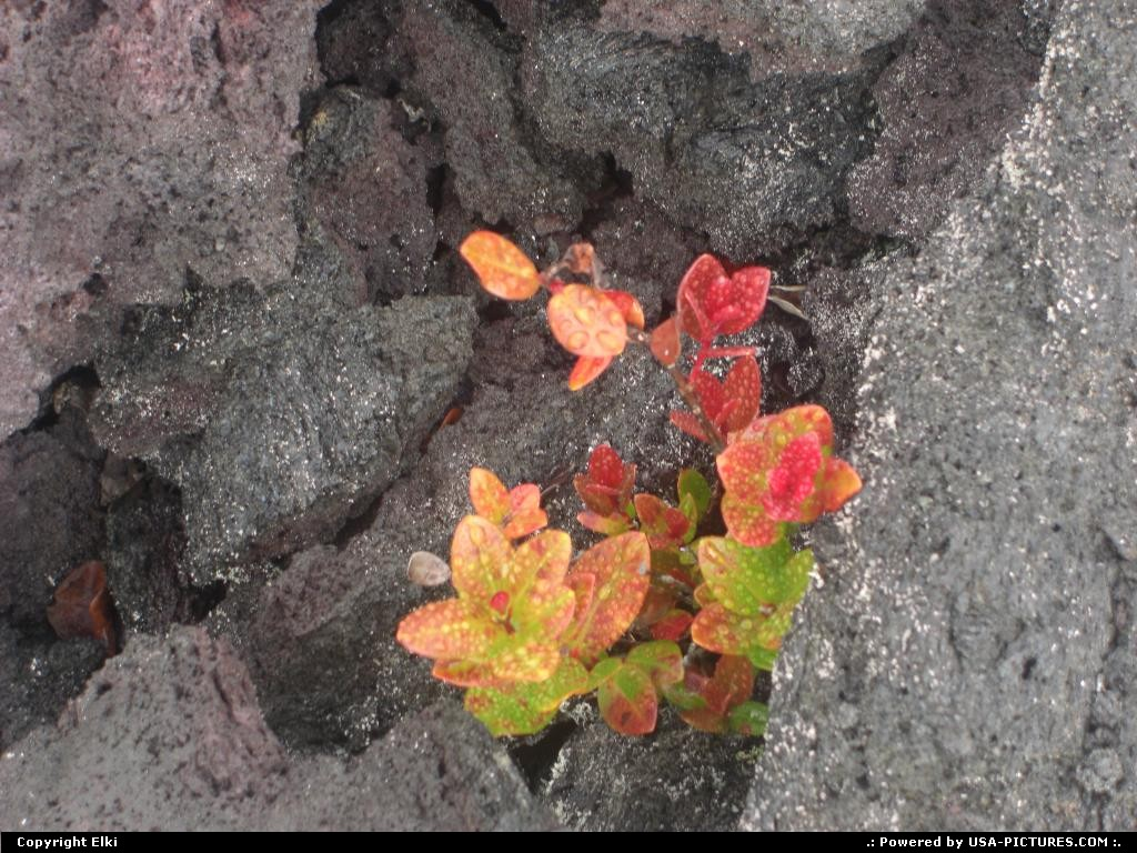 Picture by elki:  Hawaii Hawaii Volcanoes  lava, flower