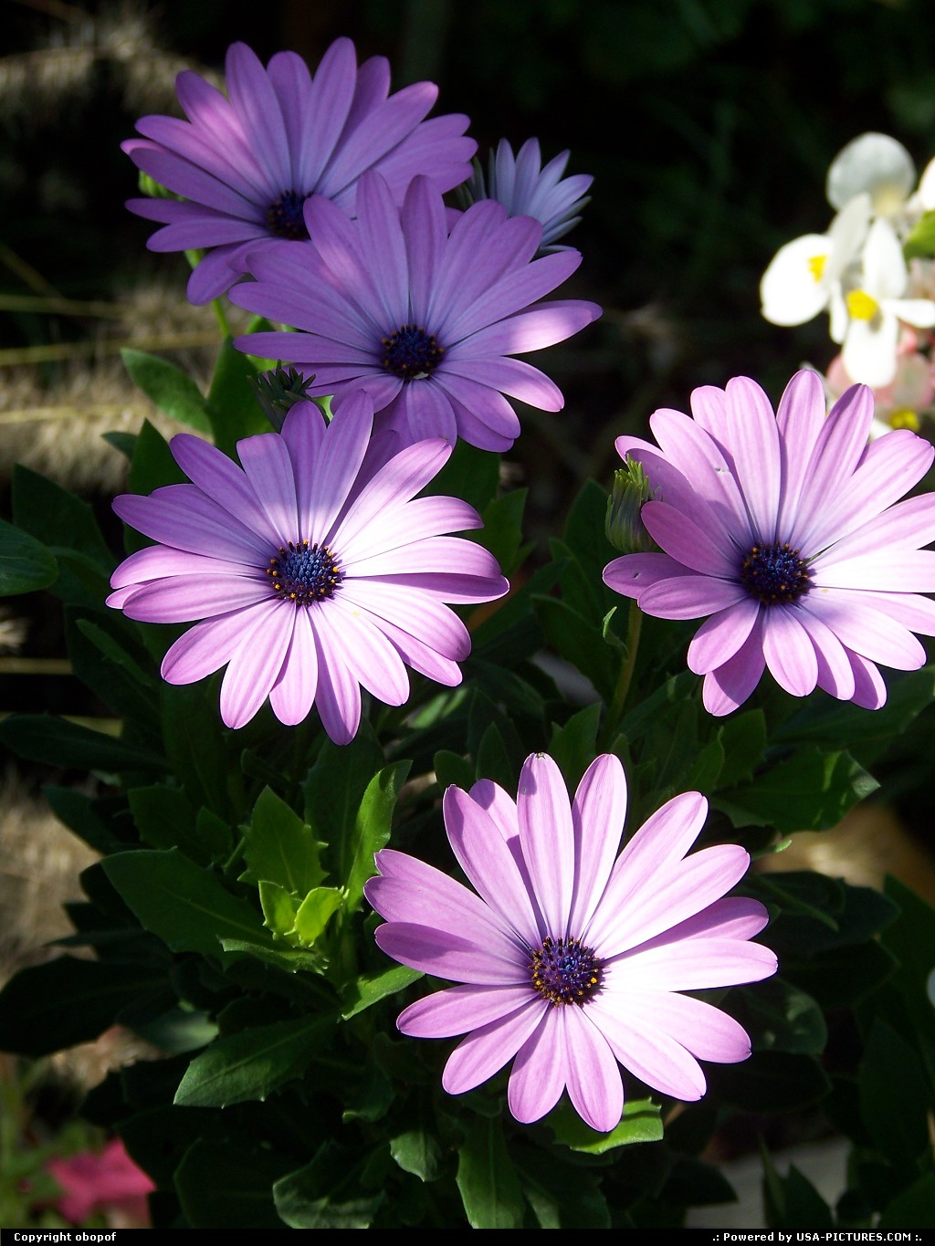 Picture by obopof: Des Moines Iowa   Flower, purple