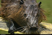 Nutria in the bayou