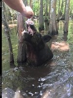 Strange or unexpected encounter in the bayou. Touring the swamp with Cajun Encounters