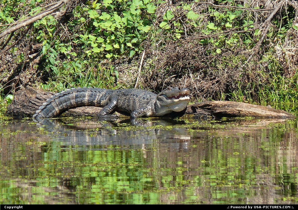 Picture by Bernie:Not in a CityLouisianaALLIGATOR