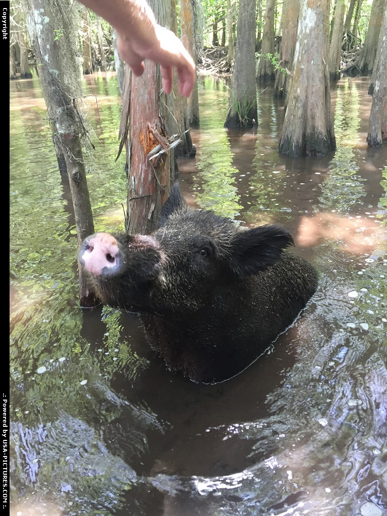 Picture by WestCoastSpirit: Slidell Louisiana   pig, pork, swamp, bayou