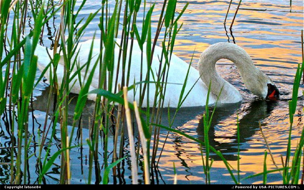 Picture by lstone84: Gloucester Massachusetts   swan, heart, pond
