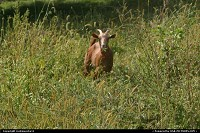 goat roaming in meadow