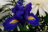 Maine, Iris in Full Bloom