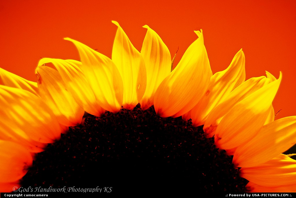 Picture by camocamera:New VineyardMaineSunflower