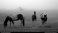 Wild horses grazing in a foggy field in Kila, Montana.