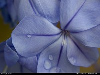 Photo by obopof | Lincoln  Macro, flower, blue