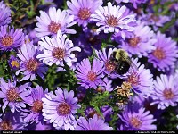 Photo by obopof | Omaha  Bee, purple, flower