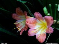 Photo by obopof | Omaha  Flower, lily