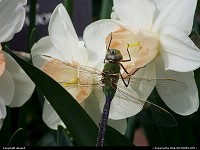 Photo by obopof | Omaha  Dragonfly, flower