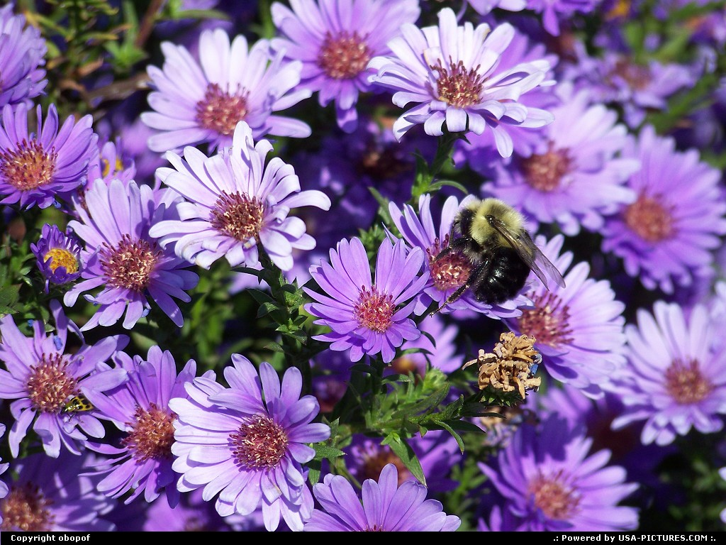 Picture by obopof: Omaha Nebraska   Bee, purple, flower