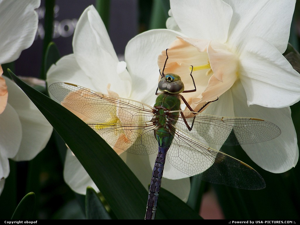 Picture by obopof: Omaha Nebraska   Dragonfly, flower