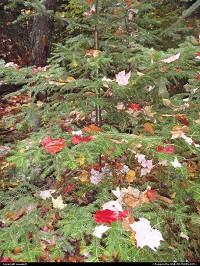 New-Hampshire, Chrismas tree ? Fall season in new hampsire