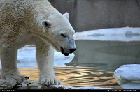 Photo by Catz | Bronx  bronx zoo, polarbear